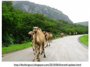 Dhofar Camels Khareef